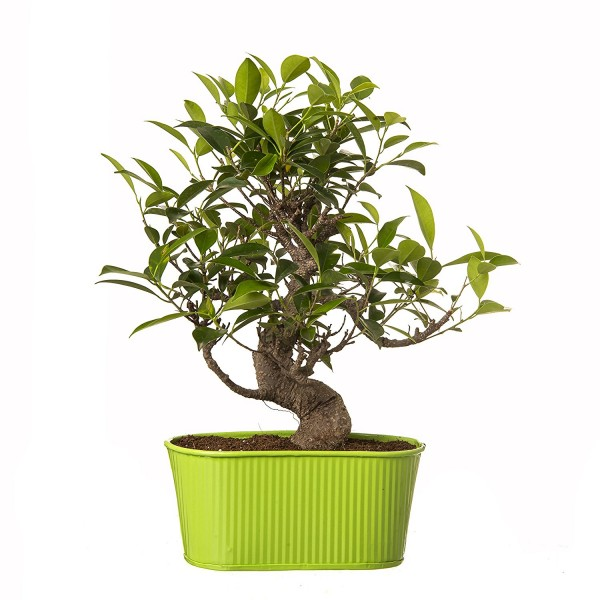 6 Year Old S Shape Ficus Bonsai in Green Metal Pot