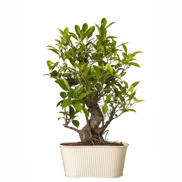 6 Year Old S Shape Ficus Bonsai In White Metal Pot