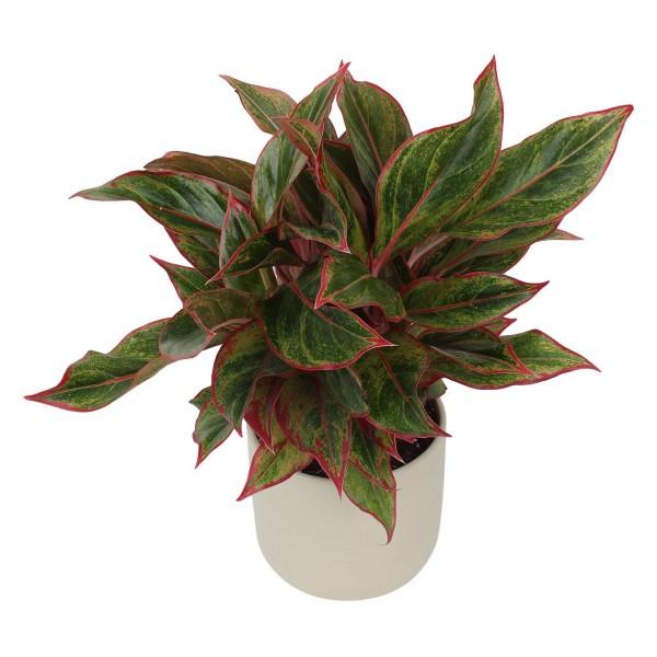 Aglonema Red in White Ceramic Pot