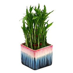 Bamboo In Ceramic Pot Plant Rainbow Black Pot
