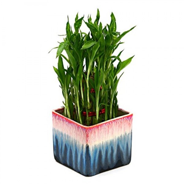 Bamboo In Ceramic Pot Plant Rainbow Black Pot Florists