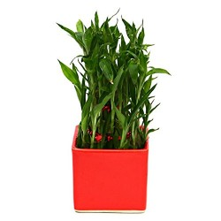 Bamboo In Ceramic Pot Plant Red Pot