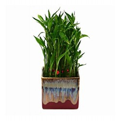Bamboo In English Purple Ceramic Pot