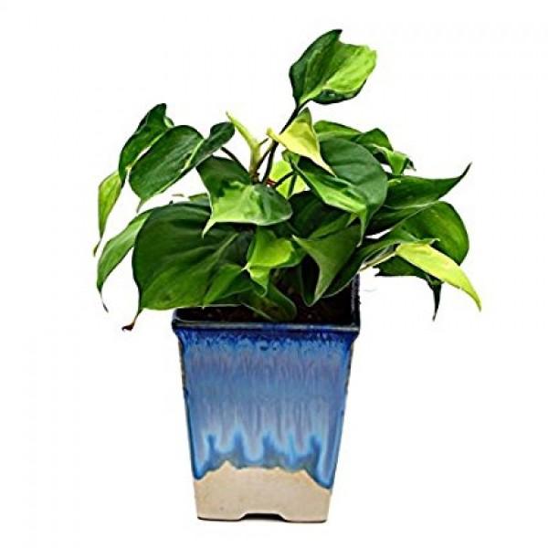 Beautiful Oxycodium In White & Blue Pot