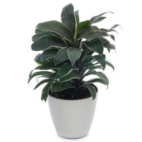 Cordeline Natural Indoor Plant