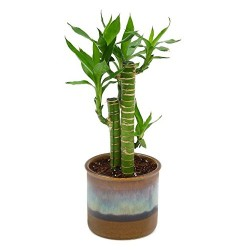 Cut Leaf Bamboo In Choco Brown Pot
