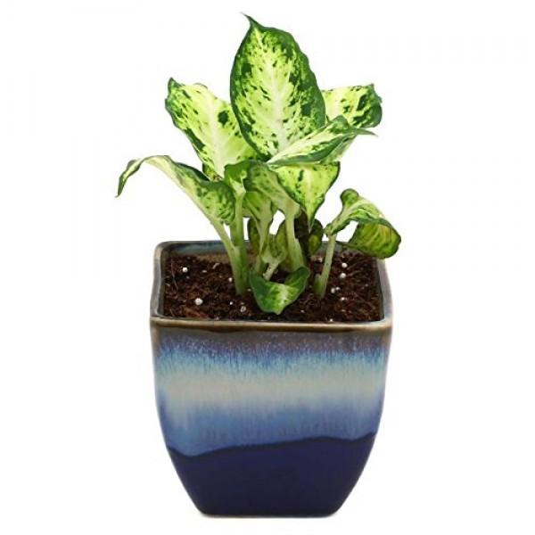 Dieffenbachia Amy Indoor Plant Ocean Blue Pot