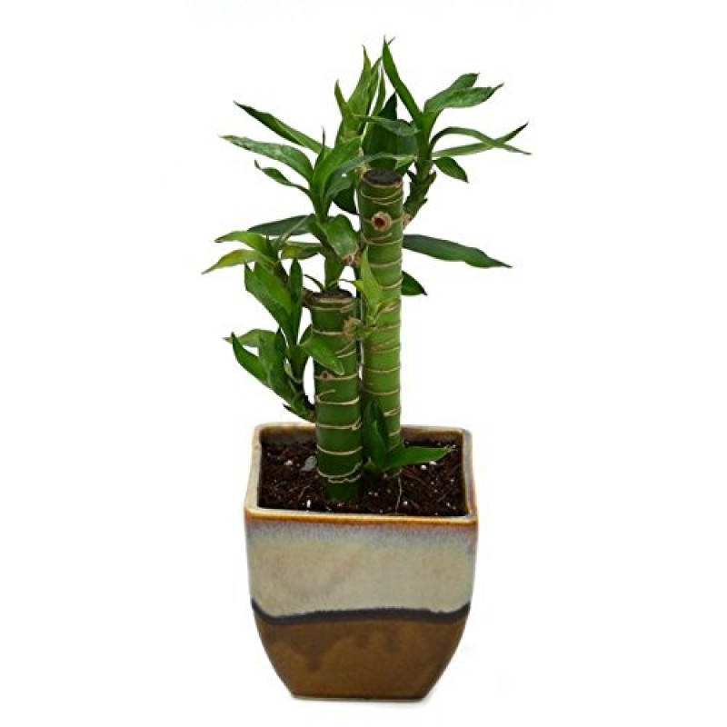 Bamboo Indoor Plant Choco Brown Pot Florists In India