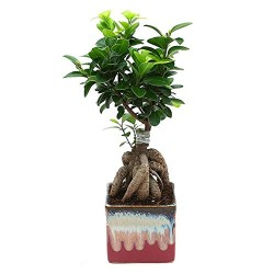 Ficus 3 Year Old Bonsai Plant English Purple Pot