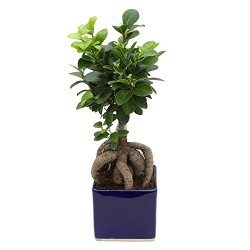 Ficus 3 Year Old Bonsai Plant White & Blue Pot