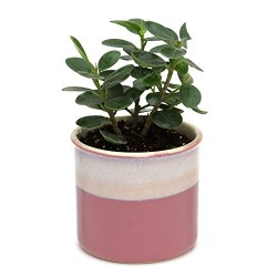 Ficus Compacta Indoor Plant Barbie Pink Pot
