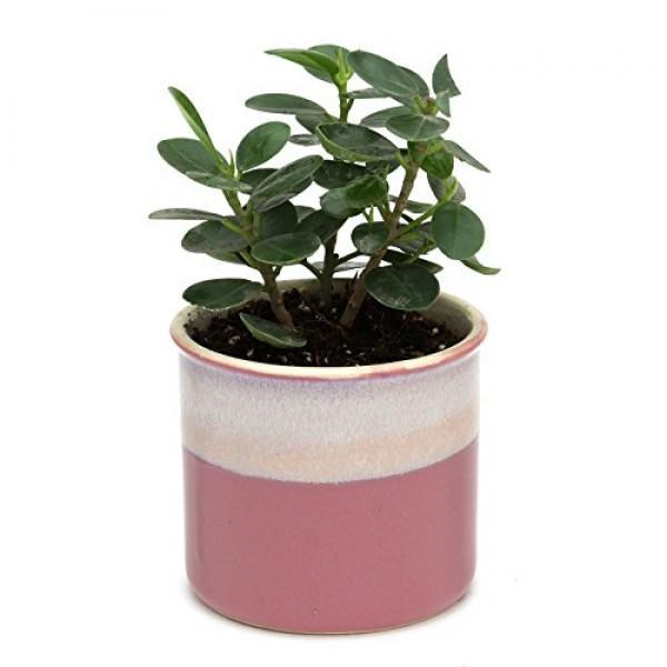 Ficus Compacta Indoor Plant Barbie Pink Pot