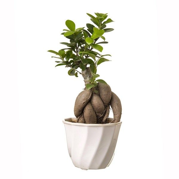 Grafted Ficus 4 Year Old Bonsai In White Pot