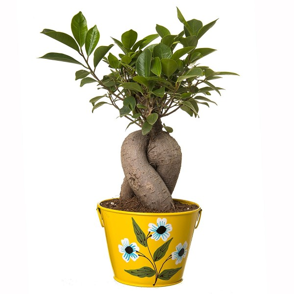 Grafted Ficus 4 Year Old Bonsai In Yellow Pot