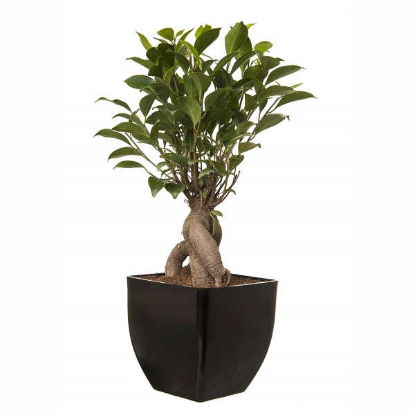 Grafted Ficus 5 Year Old Bonsai In Black Pot