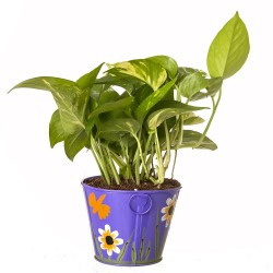 Hybrid Money Plant in Metal Pot
