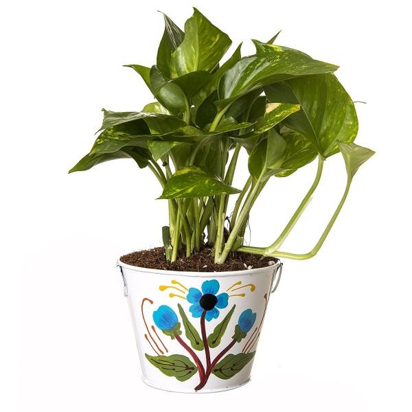 Indoor Hybrid Money Plant in Metal Pot