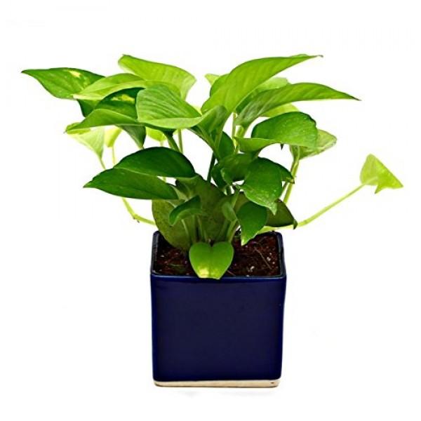 Indoor Plant Golden Pothose in Blue Ceramic Pot