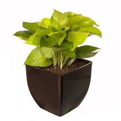 Indoor Oxygen & Air Purifier Plant Golden Pothose in Fiber Pot