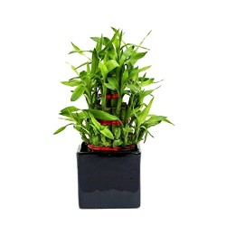 Indoor Plant 3 Layer Bamboo in Black Ceramic Pot