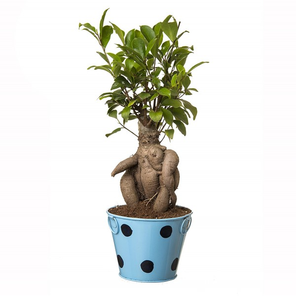 Grafted Ficus 4 Year Old Bonsai In Blue Pot