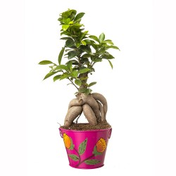 Grafted Ficus 4 Year Old Bonsai In Pink Metal Pot