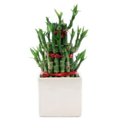 Lucky Bamboo 3 Layer In White Ceramic Pot
