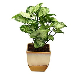 Nice Syngonium Hybrid In Cream & Cookie Pot