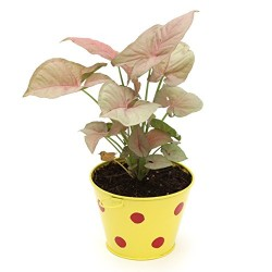 Syngonium Pink In Metal Pot Yellow Pot