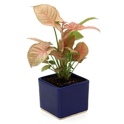 Syngonium Pink Indoor Plant Blue Pot