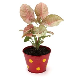 Syngonium Pink In Metal Pot Red Pot