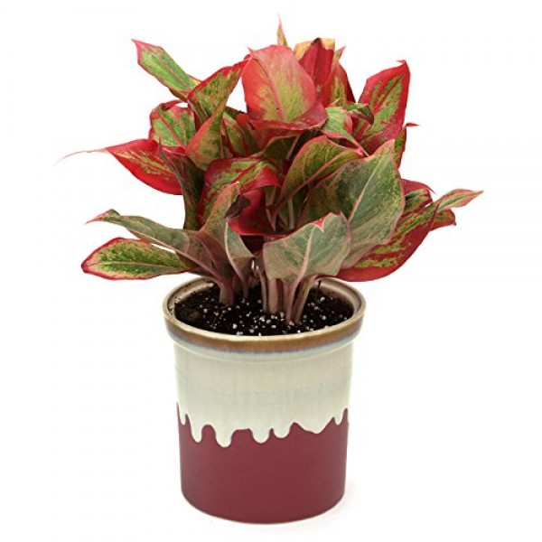 Red Aglaonema English Purple Pot